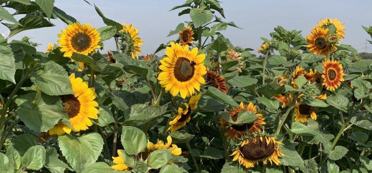 Die Sonnenblumen vom Heinenhof